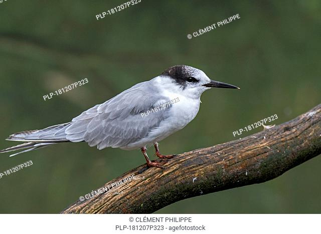 Common tern (Sterna hirundo) in non-breeding plumage perched on branch over lake in late summer