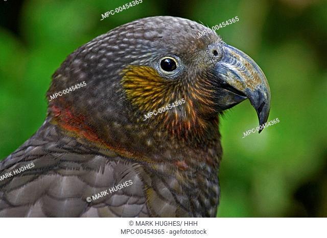 North Island Kaka (Nestor meridionalis septentrionalis), New Zealand