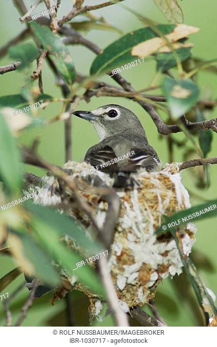 Plumbeous Vireo (Vireo plumbeus), adult on nest incubating, Madera Canyon, Tucson, Arizona, USA