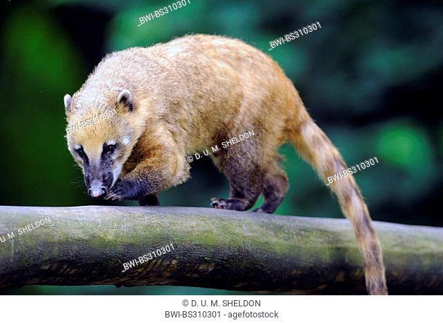 coatimundi, common coati, brown-nosed coati (Nasua nasua), walking on a branch