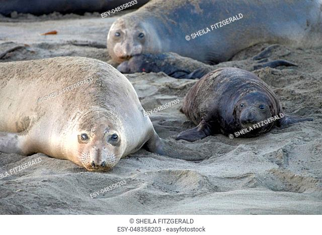 Elephant seal laying on a beach in California, mother and baby laying face to face looking towards viewer. Elephant seals take their name from the large...
