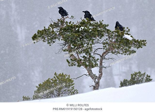 Three Common raven sitting on a snowy tree, Corvus corax, Scandinavia, Europe