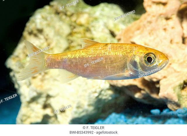 Ide, Orfe (Leuciscus idus), breeding form gold