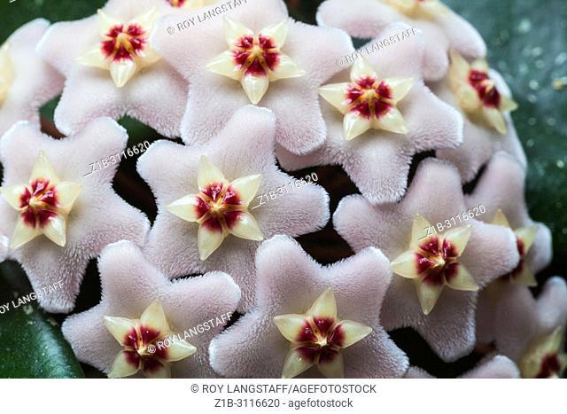 Hoya Carnosa flower cluster