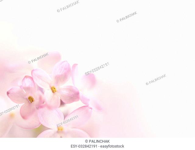Flowers background. Soft focus image of lilac flowers