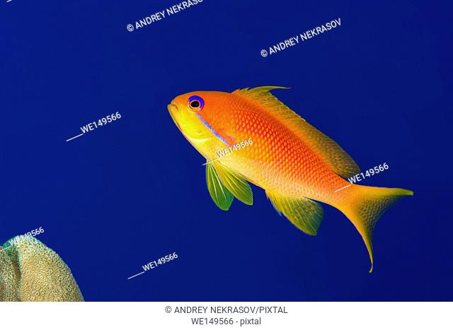 Female sea goldie, lyretail coralfish, lyretail anthias or scalefin anthias (Pseudanthias squamipinnis) on the background of blue water, Red sea