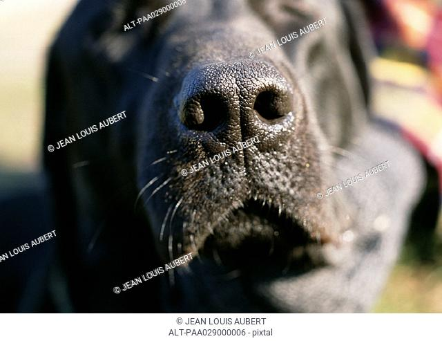 Black dog's nose