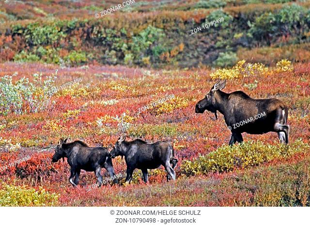 Elch, die Tragzeit der Elchkuh betraegt 8 Monate - (Alaskaelch - Foto Elchkuh mit Kaelbern) / Moose, the females have an eight-month gestation period - (Giant...