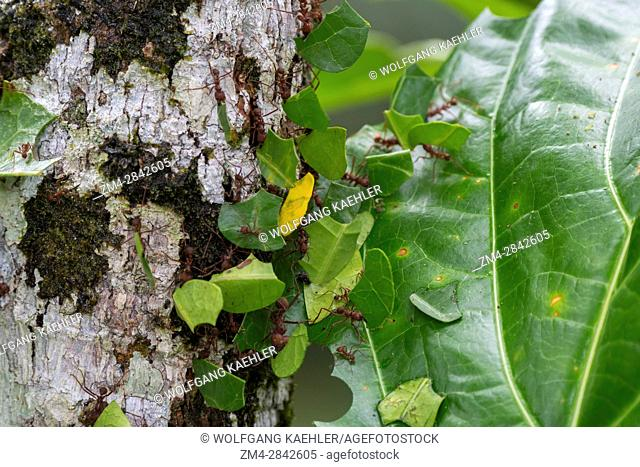 Leafcutter ants carry sections of leaves larger than their own bodies in order to cultivate fungus for food at their colony in the rain forest near La Selva...