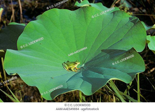 Green Treefrog (Hyla cinerea) on American Lotus leaf, Tunica Hills, Louisiana