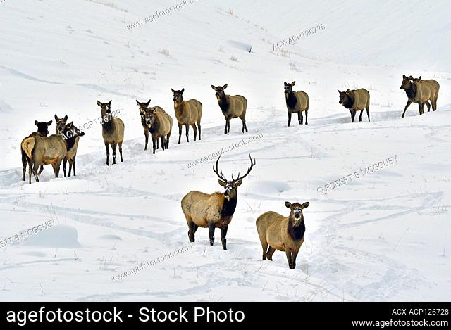 A herd of wild elk ( Cervus canadensis), following each other through the deep snow in rural Alberta, Canada