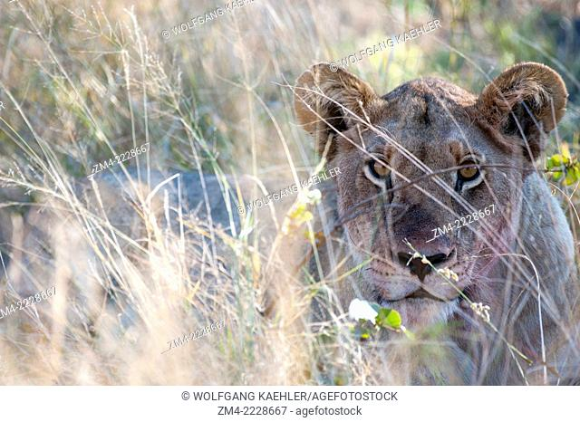 Close-up of a lioness (Panthera leo) stalking prey near the Vumbura Plains in the Okavango Delta in northern part of Botswana
