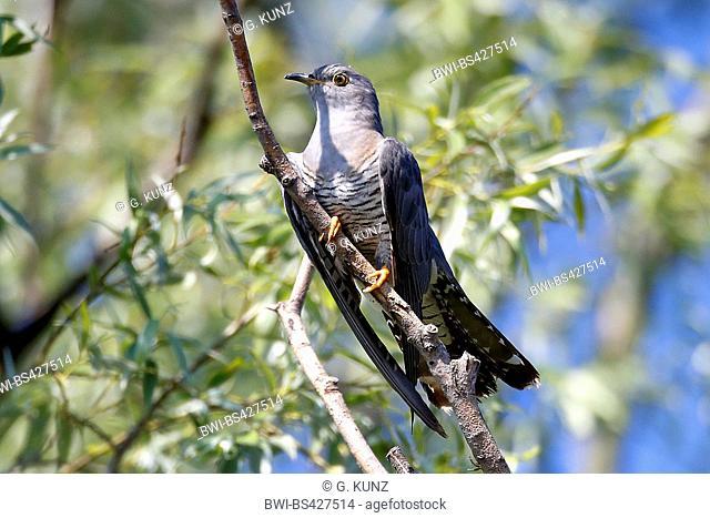 Eurasian cuckoo (Cuculus canorus), sitting on a branch, Romania, Danube Delta