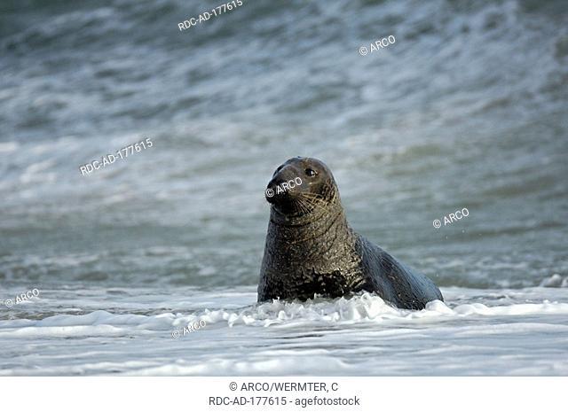 Grey Seal, male, Helgoland, Schleswig-Holstein, Germany, Halichoerus grypus