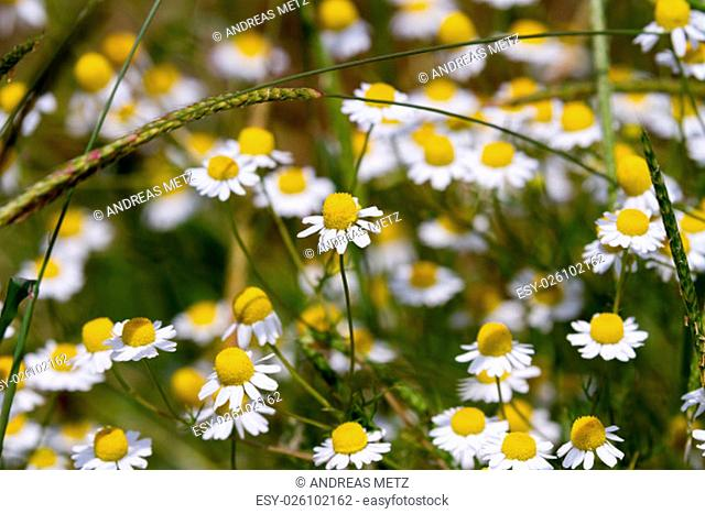 Closeup of a field of chamomile flowers