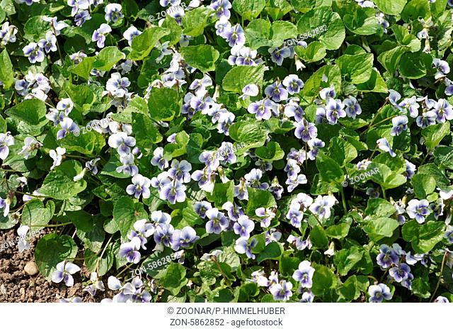 Viola sororia, Pfingstveilchen, Wild violet