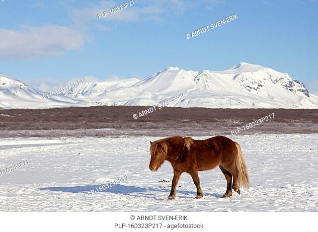 Icelandic horse (Equus ferus caballus / Equus Scandinavicus) in heavy winter coat in the snow on Iceland