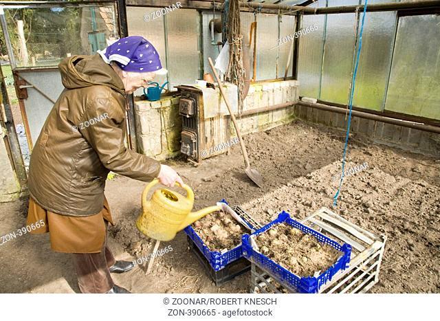 Alte Bäuerin gießt Frühkartoffeln in einem Gewächshaus