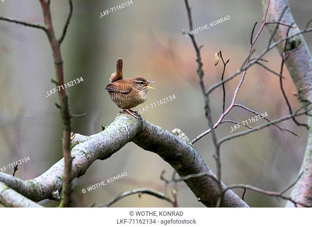 Wren singing in forest, Trogoldytes troglodytes, Forest, Bavaria, Germany