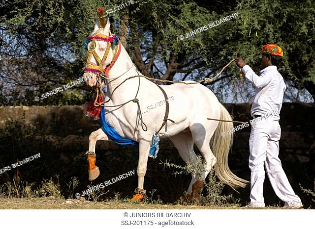 Marwari Horse. Dominant white mare performing a Piaffe during a traditional horse dance. Rajasthan, India
