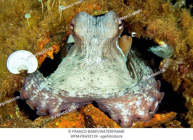 Common Octopus, Octopus vulgaris, Santa Teresa, Sardinia, Italy