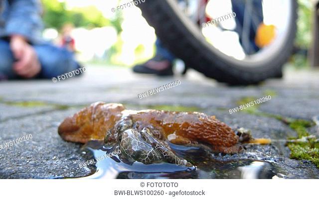 large red slug, greater red slug, chocolate arion Arion rufus, override single animal