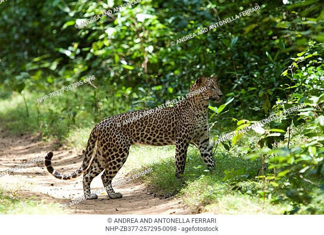 Sri Lankan leopard Panthera pardus kotiya, Wilpattu National Park, Sri Lanka