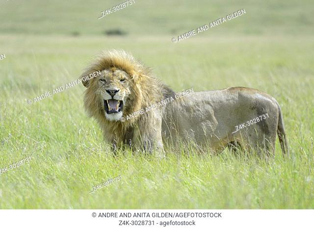 Male African Lion (Panthera leo) standing on savanna, smelling for female in heat, Masai Mara National Reserve, Kenya, Africa