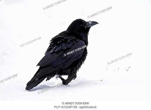 Common raven / northern raven (Corvus corax) in the snow in winter