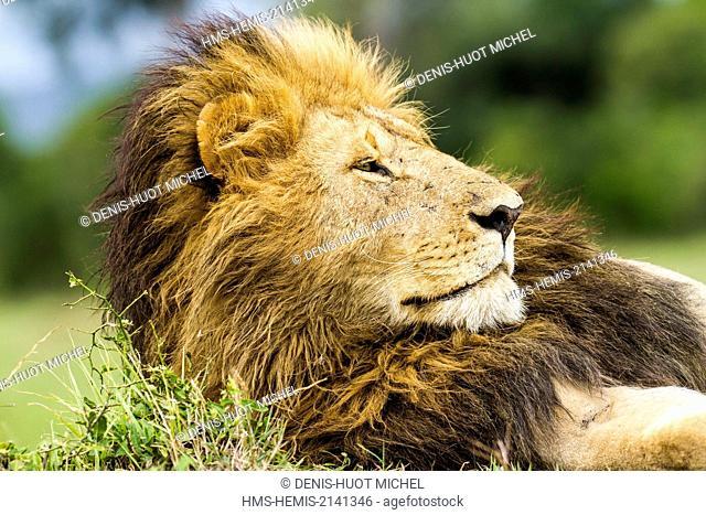 Kenya, Masai Mara game Reserve, lion (Panthera leo), male resting