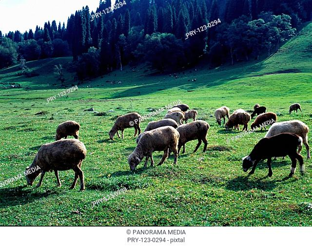Sheep grazing on grass fields, Sinkiang