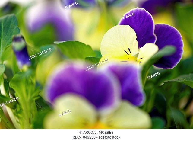 pansy (Viola arvensis), Germany, Europe