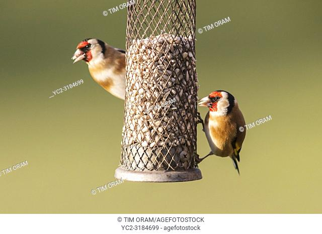 A pair of Goldfinch (Carduelis carduelis) in a Norfolk garden