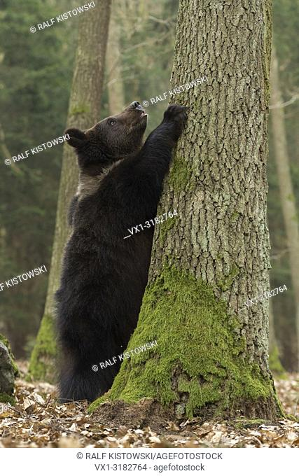 European Brown Bear ( Ursus arctos ), playful cub, standing on hind legs, holding, watching up a tree, exploring its surrounding, looks funny, Europe