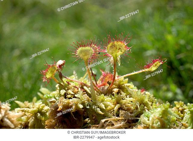 Common sundew or Round-leaved sundew (Drosera rotundifolia), Parc Naturel Regional des Volcans d'Auvergne, Auvergne Volcanoes Natural Regional Park, Puy de Dome
