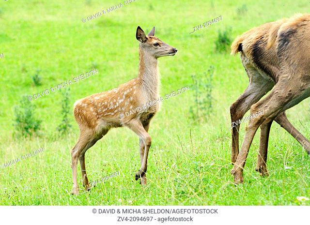 Close-up of a red deer (Cervus elaphus) youngster standing on a meadow
