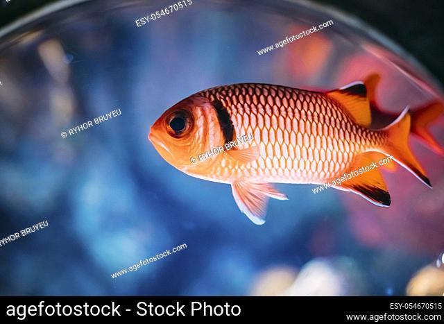Pinecone Soldierfish Fish Myripristis Murdjan With Big Eyes Swimming In Water