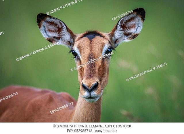 Female Impala starring at the camera in the Kruger National Park, South Africa