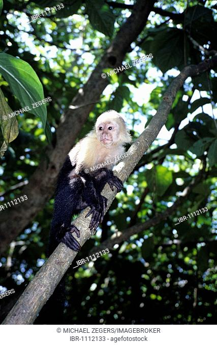 White-headed Capuchin (Cebus capucinus) in a national park, Parque Nacional Cahuita on the Caribbean coast, Caribbean, Costa Rica, Central America