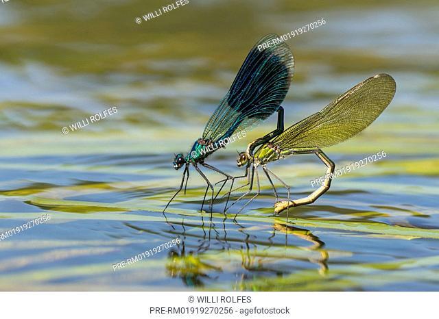 Banded demoiselles, Calopteryx splendens, mating / Gebänderte Prachtlibellen, Calopteryx splendens, Paarung