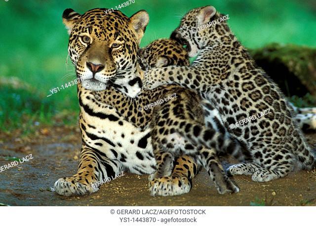 JAGUAR panthera onca, MOTHER PLAYING WITH CUB