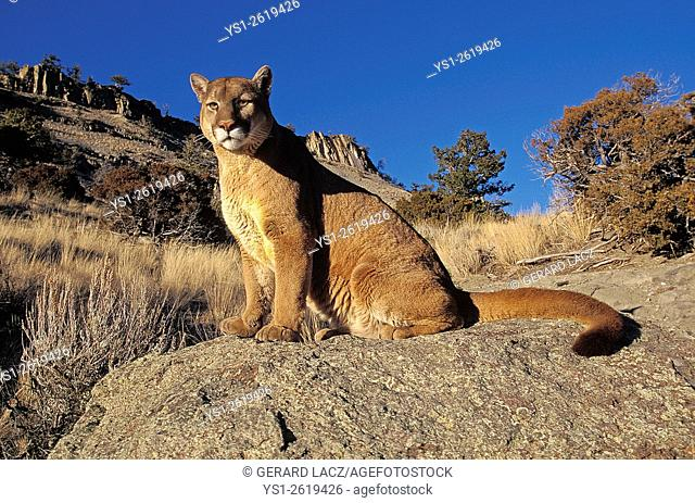 Cougar, puma concolor, Adult standing on Rocks, Montana