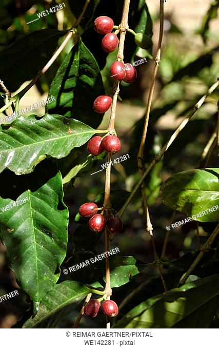 Coffea bush with ripe red coffee berries in Jalisco Mexico