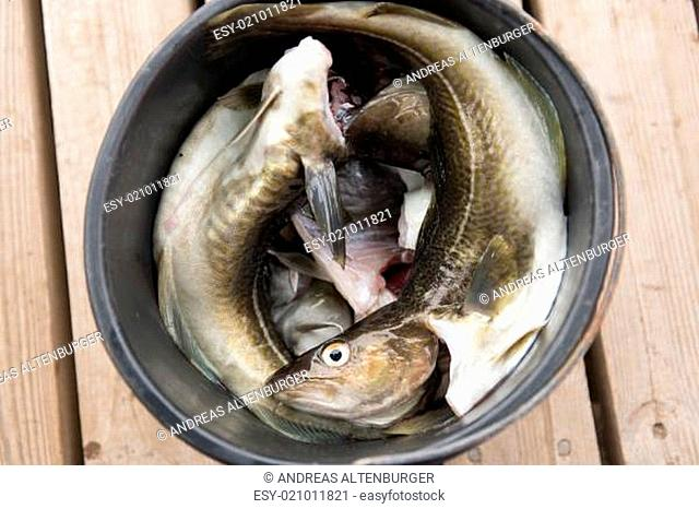 Fresh cod in a bucket