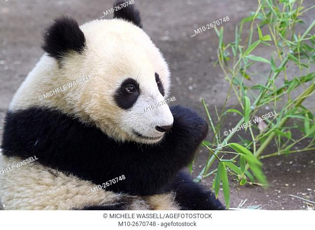 A young Giant Panda sitting while it is eating in North America, USA