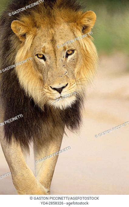 African lion (Panthera leo) - Male, in the gravel road, Kgalagadi Transfrontier Park, Kalahari desert, South Africa/Botswana