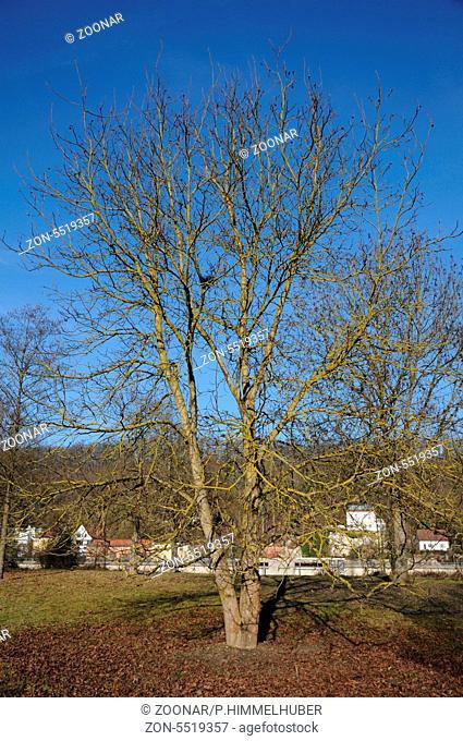Zweistämmiger Baum im Winter