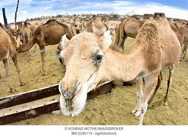 Dromedary camels (Camelus dromedarius), camel market in Sebha, Libya, Africa