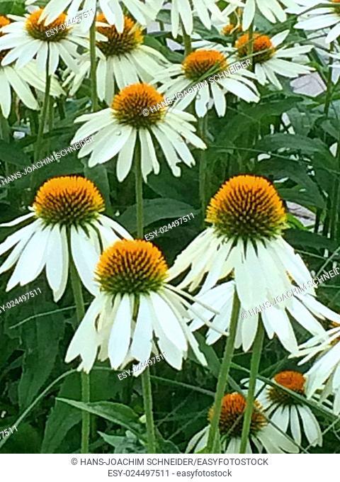 cone flower, white flower
