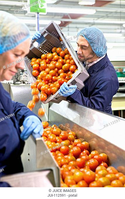Worker emptying bin of ripe red tomatoes onto production line in food processing plant